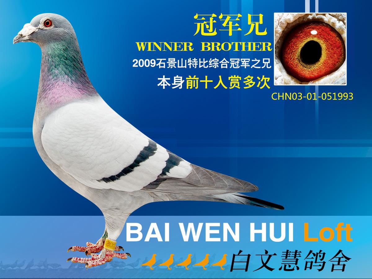 鸟类鸽教学鸽子图示鸟动物1200_900狮子女配对图片